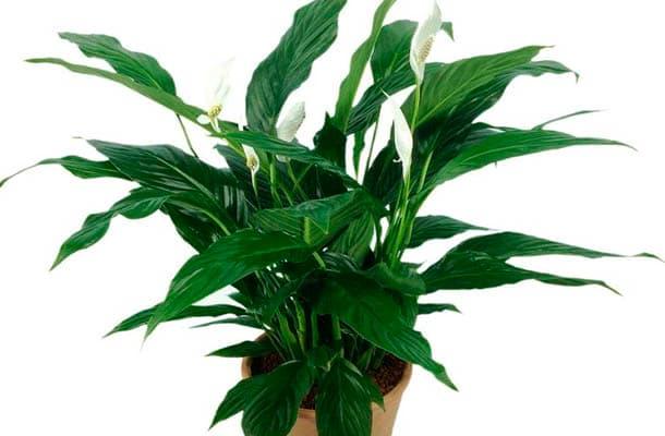 planta limpia el aire